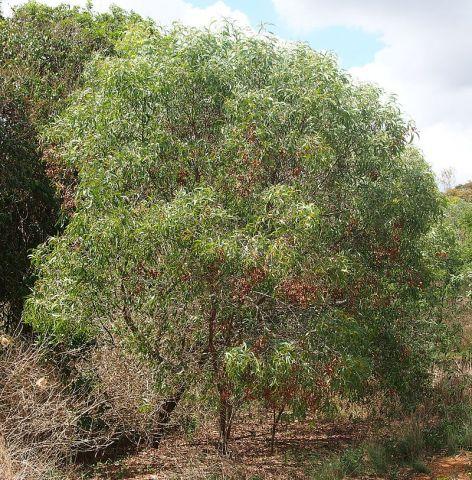 Acacia leptocarpa