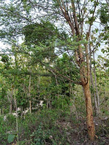 Acacia tomentosa