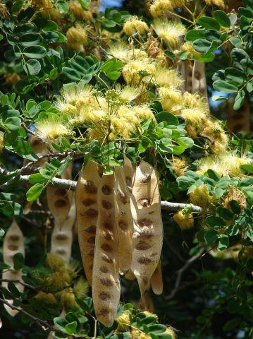 Acacia lebbeck