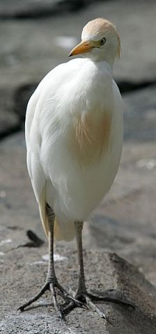 Burung Kuntul Kerbau