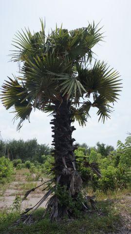 Pohon Siwalan, Parangtritis, Bantul