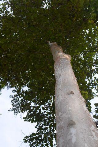 Pohon Dlingsem, Bunder, Pathuk, Gunungkidul