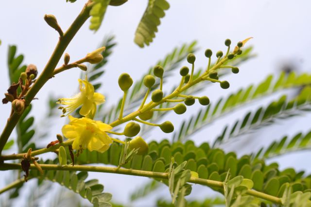 Bunga Secang, Bunder, Pathuk, Gunungkidul