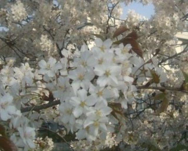 Hanami, Merti Bumi Warga Pecinta Sakura