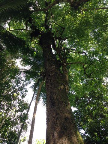 Pohon Gintungan, Samigaluh, Kulon Progo