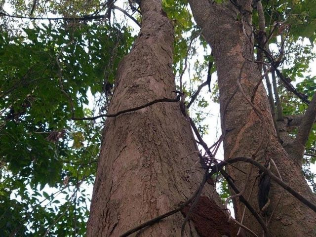 Pohon Laban