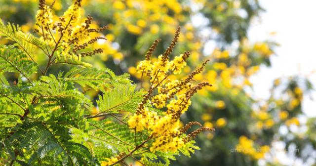 Pohon Berbunga Indah Indonesia: Soga