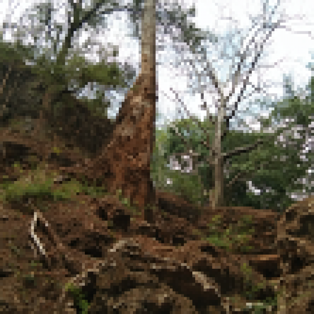 Pohon Winong