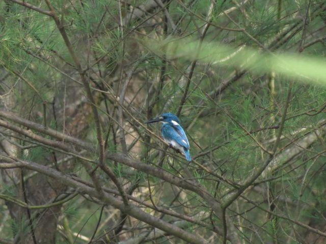 Rajaudang Biru