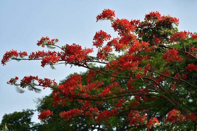 Pohon Berbunga Indah Indonesia: Flamboyan