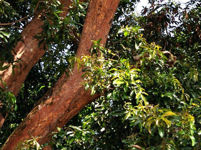 Ingas: Pohon Bergetah Panas
