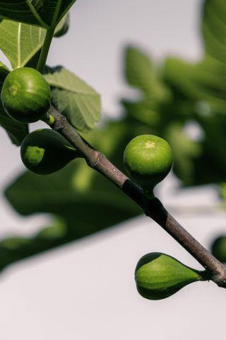 Pohon Elo: Pohon Tin Van Java