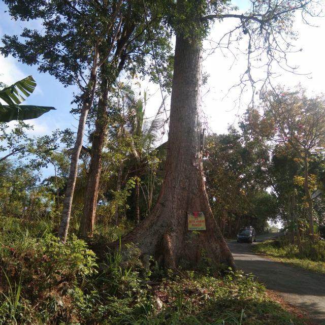 Kepuh dan Mitos Pohon Besar